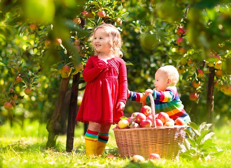 Picking apples for juice