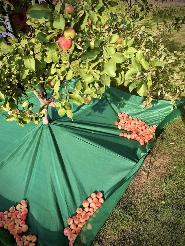 Apple catcher net - fruit collector